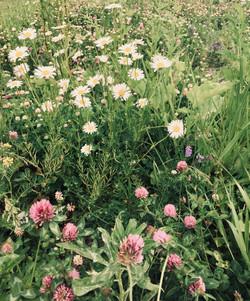Prairie fleurie sauvage