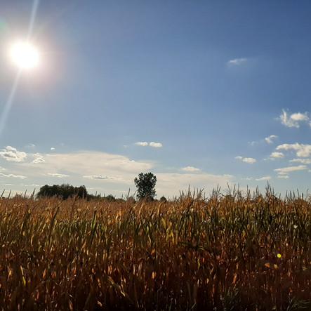 cornfield_sept.jpg