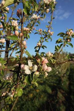 apple_blossoms.JPG
