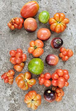 tomato selection.jpg