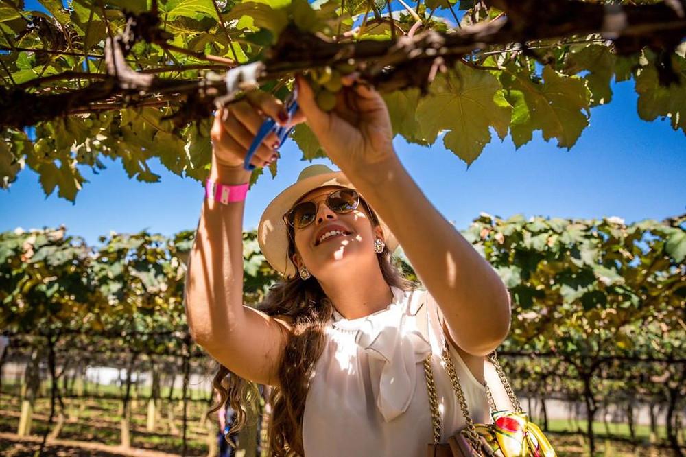 Chegou a tão esperada hora: festa da colheita das uvas na Vinícola Góis