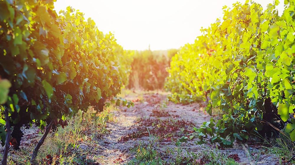 Bogazkere e Okuzgozu Grapes, Anatolia