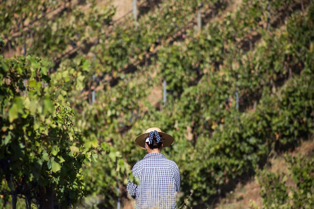 Produtora de vinhos portuguesa, Quinta das Murças, apresenta seu primeiro programa de vindimas