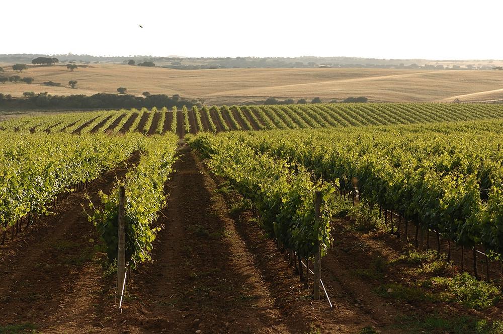Uma das regiões mais importantes do mundo na produção de vinho, Alentejo tem rota do enoturismo