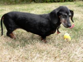 older dachshund.png