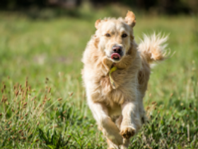 golden retriever running.png