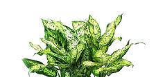 foliage plants_edited.jpg