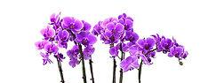 orchid purple_edited.jpg