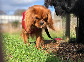 Lost Cavalier Dog Amber
