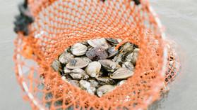 《地魚日記》加布里の蛤