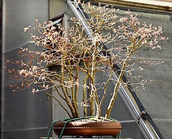 JS maple tree_edited.jpg