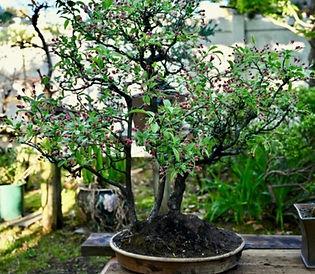 JS apple tree_edited.jpg