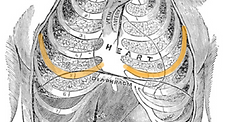 Garbit-thorax-with-orange-5th-ribs.png