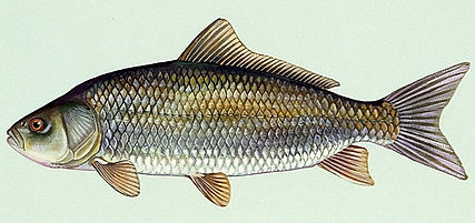 Buffalo Fish.jpg