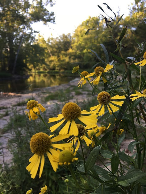 Yellow Flowers by the Stillwater River at Stillwater Prairie.JPG