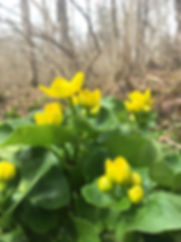 Marsh Marigold in April.jpg