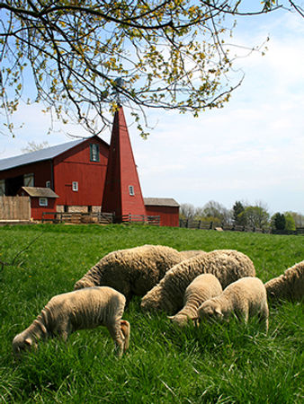 Carriage Hill Sheep (2).jpg