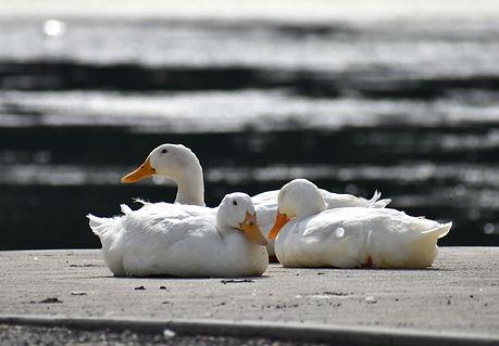 Ducks at Husseys.jpg