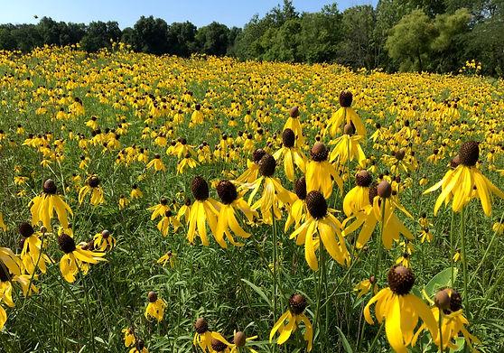 Goode Prairie Summer Wildflowers.JPG