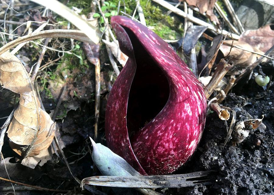 Skunk Cabbage 1.jpg