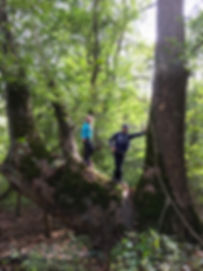 Giant White Oak at Brukner.JPG
