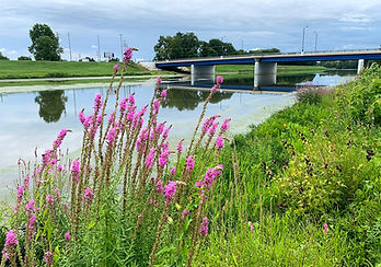 Pink Flowers Next to the River Close.jpg