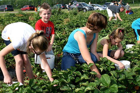 Fultons Picking Strawberries.jpg