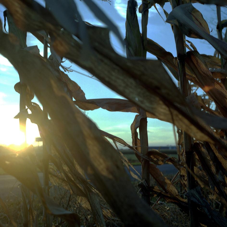 cornfield_300ppi.jpg