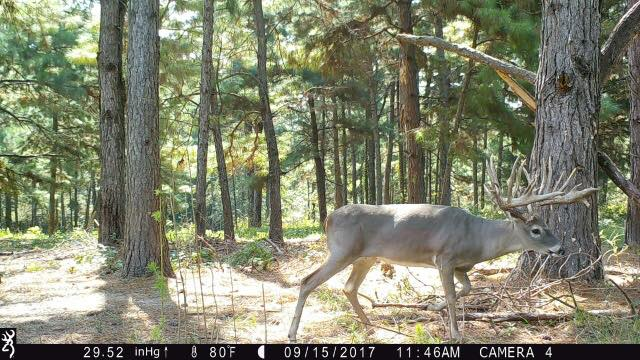 Typical Texas Whitetail Buck