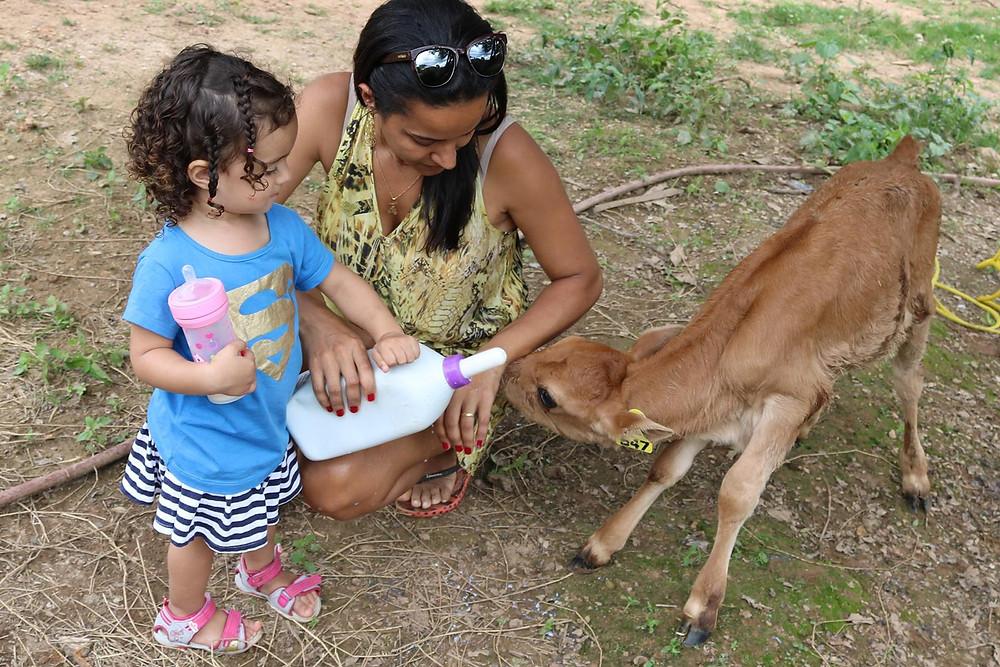Tarsila dá leite ao bezerro que acaba de nascer na fazenda