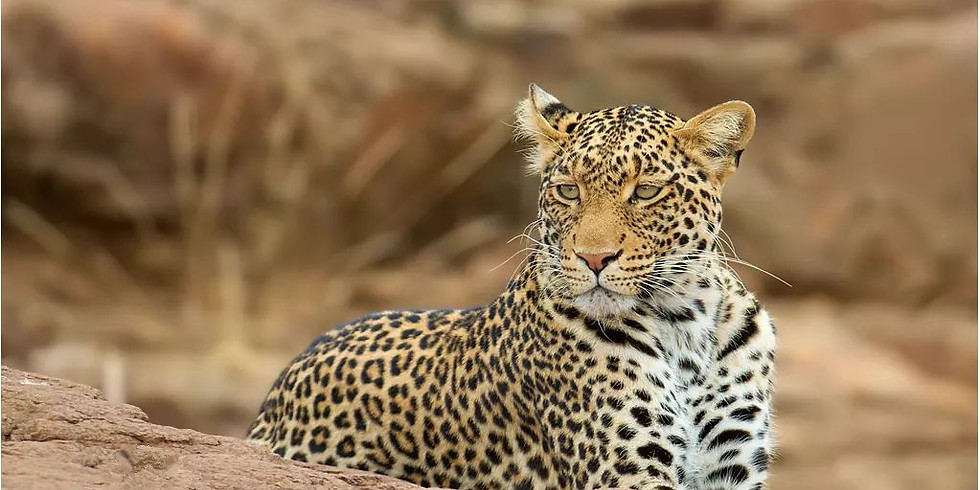 Leopard Safari - Jawai, Bera Rajasthan