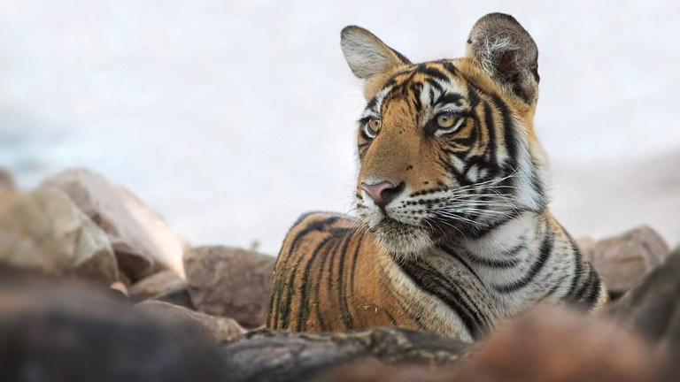 Tigers In Tadoba