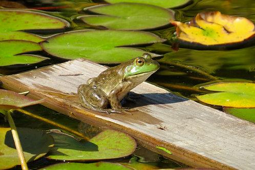 Frog On Board