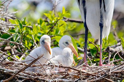 Wood Stork Babies