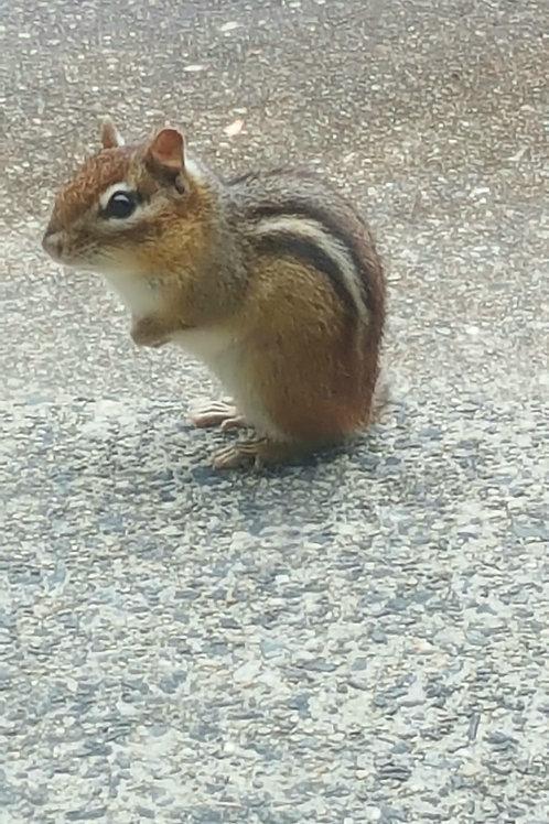 Chipmunk Visitor