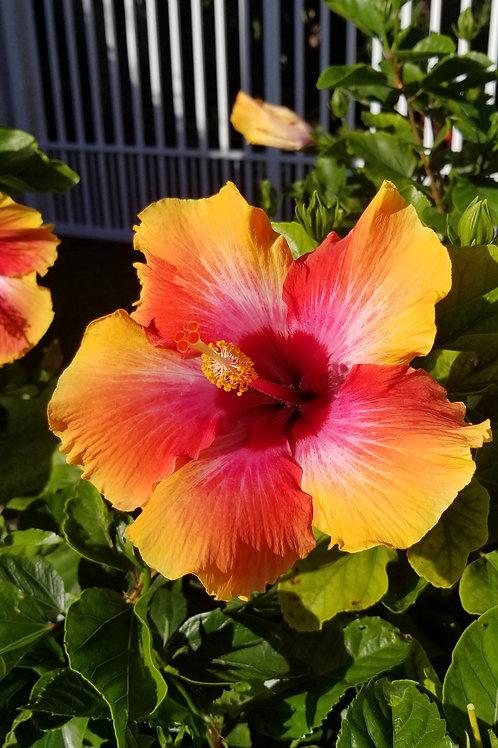 Fiery Bloom