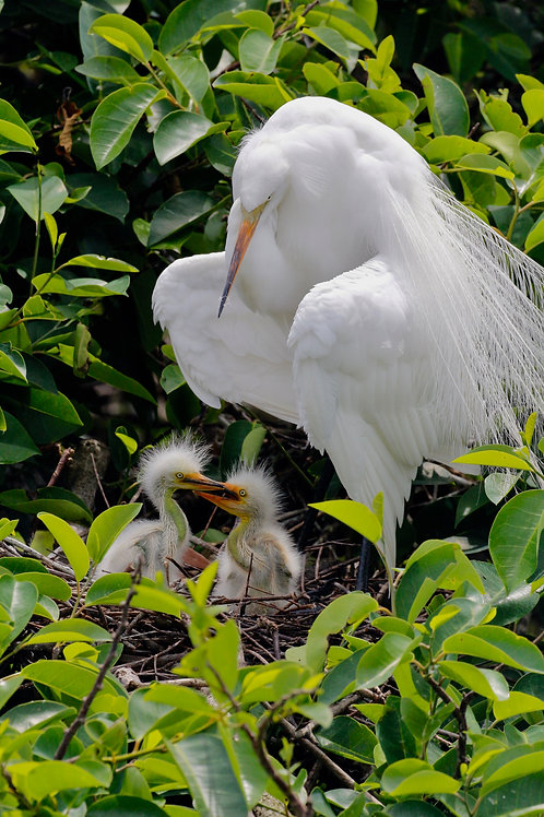 Egret With Hatchlings