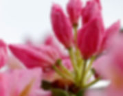 Rhododendron3.jpeg