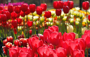 Red tulips.jpeg
