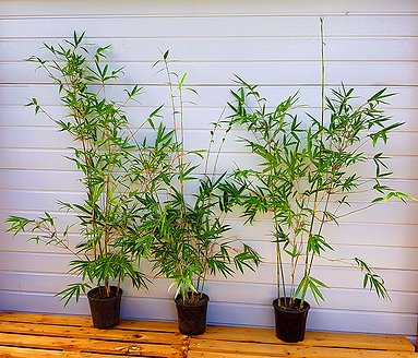 1.5m Tall Gracilis Bamboo - $85ea