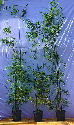 3m Tall Adavanced Gracilis Bamboo - $120ea