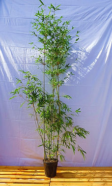2.5m Tall Gracilis Bamboo - $99ea