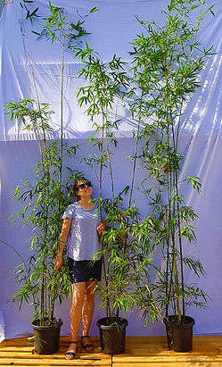 3m Tall Advanced Gracilis Bamboo - $120ea