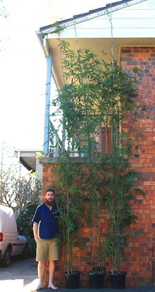 5m Tall Gracilis Bamboo - Super Advanced - $145ea