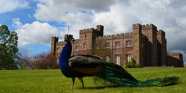 Scone Palace wth a Peacock in front