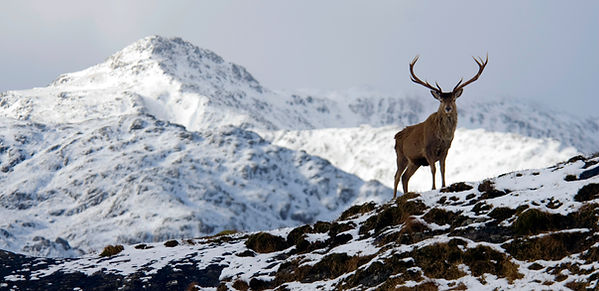 Red Deer Stag on wintery mountain