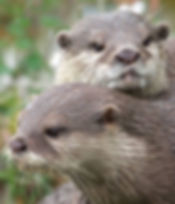 Pair of Otters at Auchingarrich