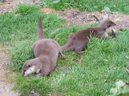 Otters eating fish in Perthshire