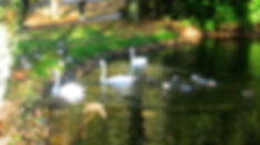 Swans and ducks at pond in University of Stirling's grounds at Bridge of Allan