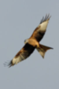 Red Kite in flight at Argaty Red Kites